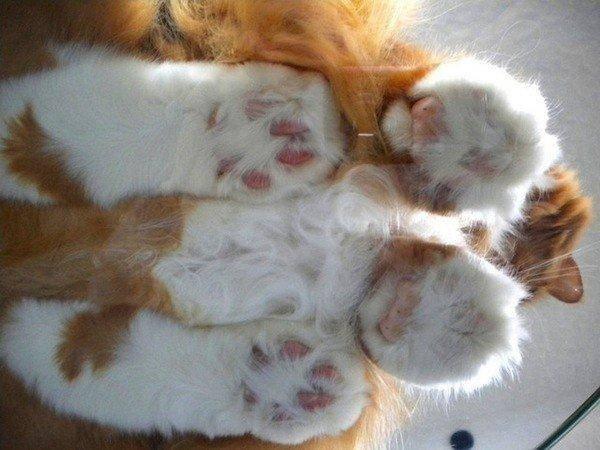 2. Но они наиболее умилительны, когда вы смотрите на них снизу сквозь стеклянный стол. животные, коты, милота