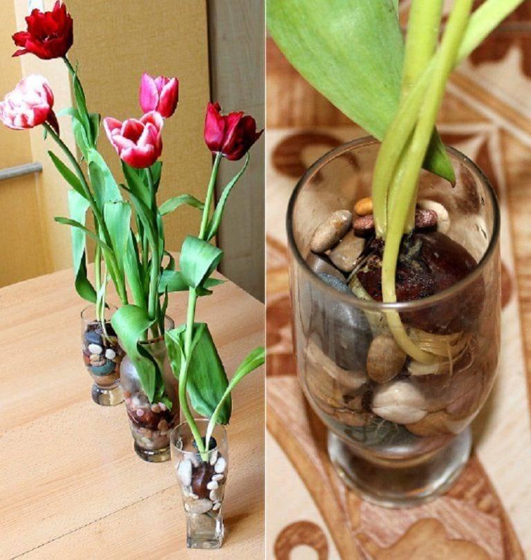 Сажать тюльпаны в доме