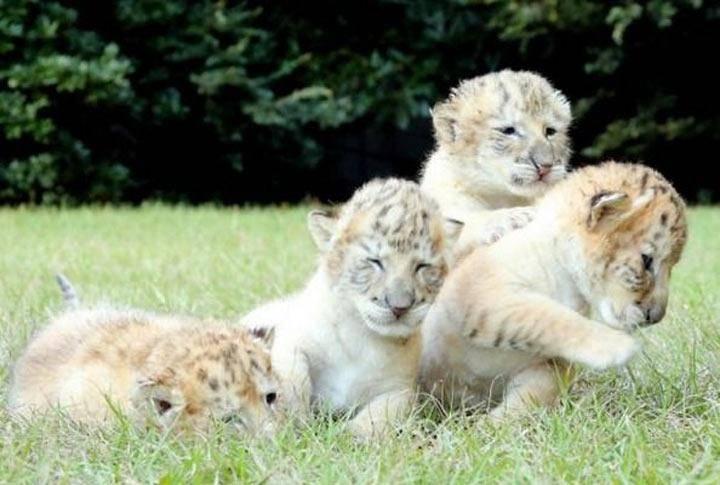 У белого льва и белой тигрицы родились дети лигрята (10 фото)